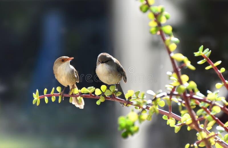 Couples superbes de Fée-roitelet dans l'amour photo stock