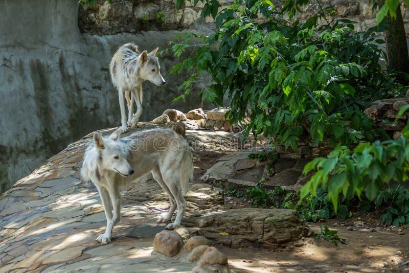 Couplez du loup d'Alaska de la stérile-terre de loup de toundra photos stock