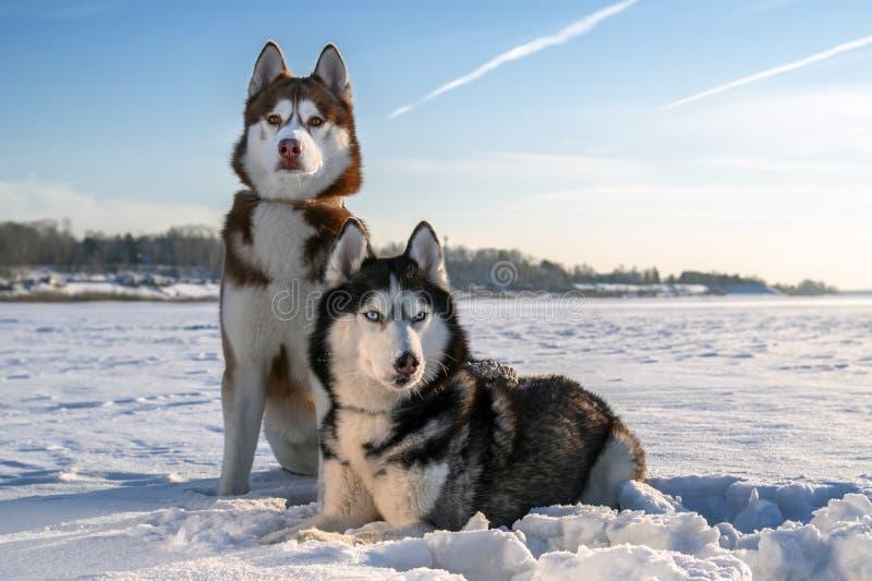 Couplez les chiens enroués sibériens sur le fond ensoleillé d'hiver Portrait de deux chiens enroués stupéfiants se reposant sur l photographie stock libre de droits