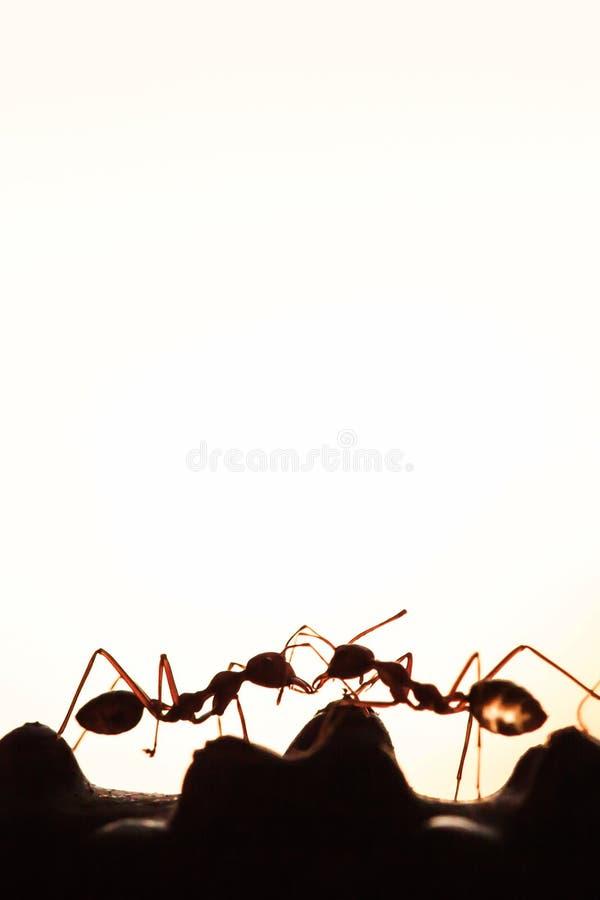 Couplez les fourmis vertes ayant une conversation dans une vigne, résumé transparent de la forme des fourmis au crépuscule, fond  photos stock