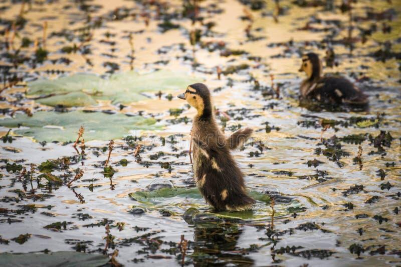 Couplez les jeunes canetons de canard nageant dans le lac photos libres de droits