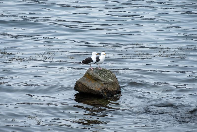 Couplez les oiseaux de mouette se tenant sur la roche photos stock