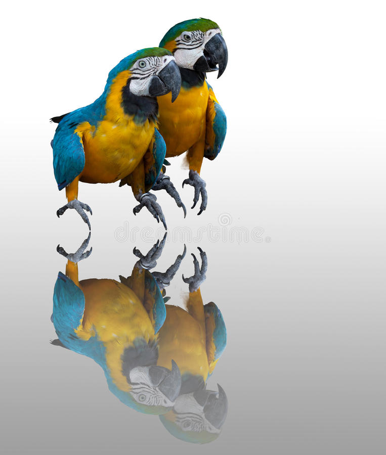 Couplues of blue macaw vector illustration