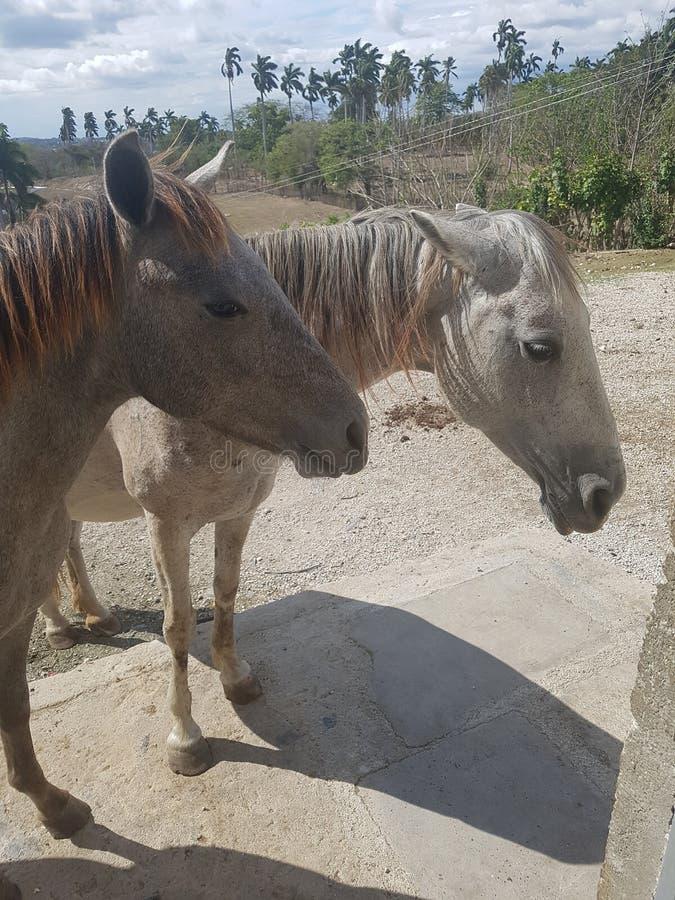 Coupple dei cavalli immagine stock libera da diritti