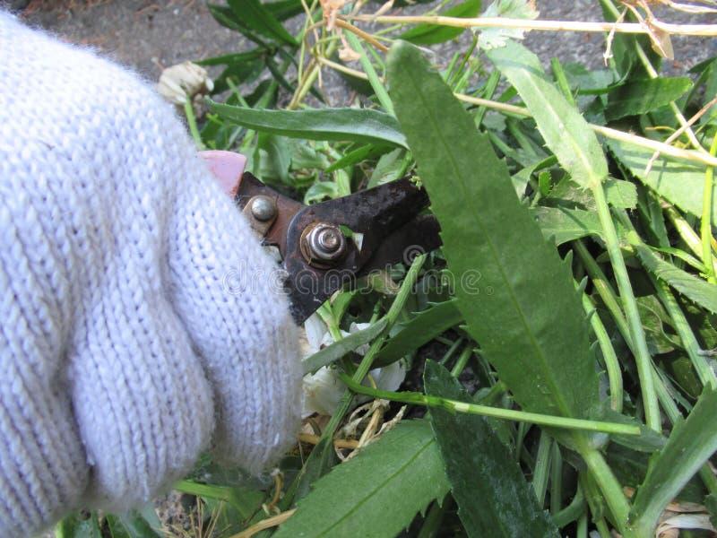 Coupure des tiges et des feuilles vertes avec des ciseaux de jardinage image stock