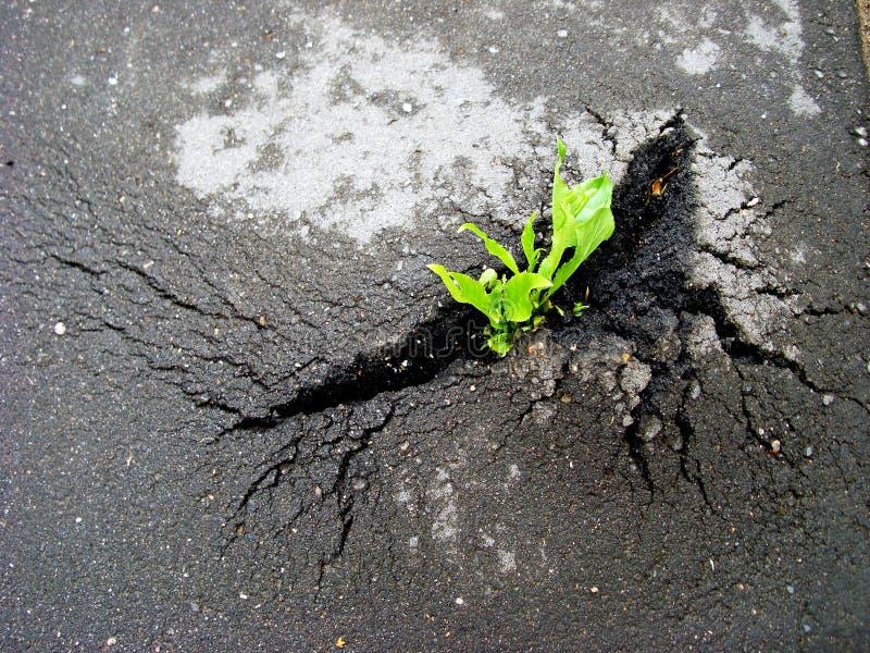 Coupures vertes de pousse par l'asphalte image stock