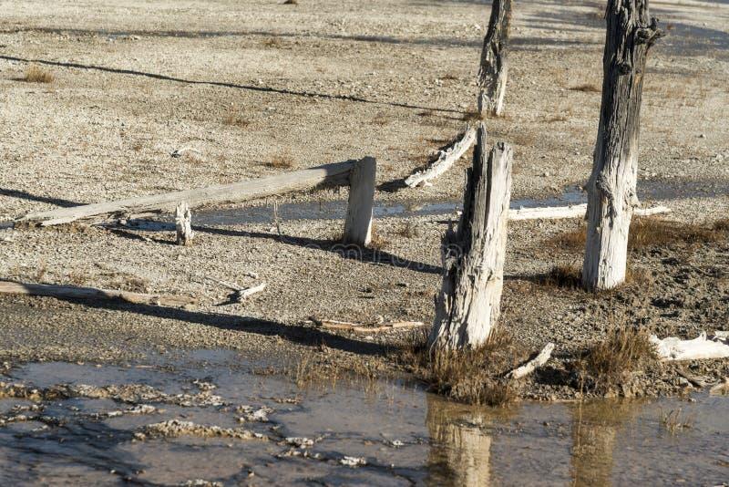 Courant chaud et arbres pétrifiés, parc national de Yellowstone de pot de peinture de fontaine photo stock