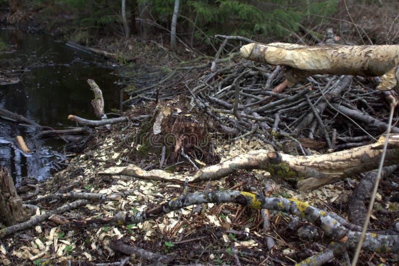 Courant de forêt et traces des activités essentielles 1 Comportement de forager des animaux photographie stock