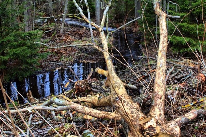 Courant de forêt et traces des activités essentielles 1 Comportement de forager des animaux photo libre de droits
