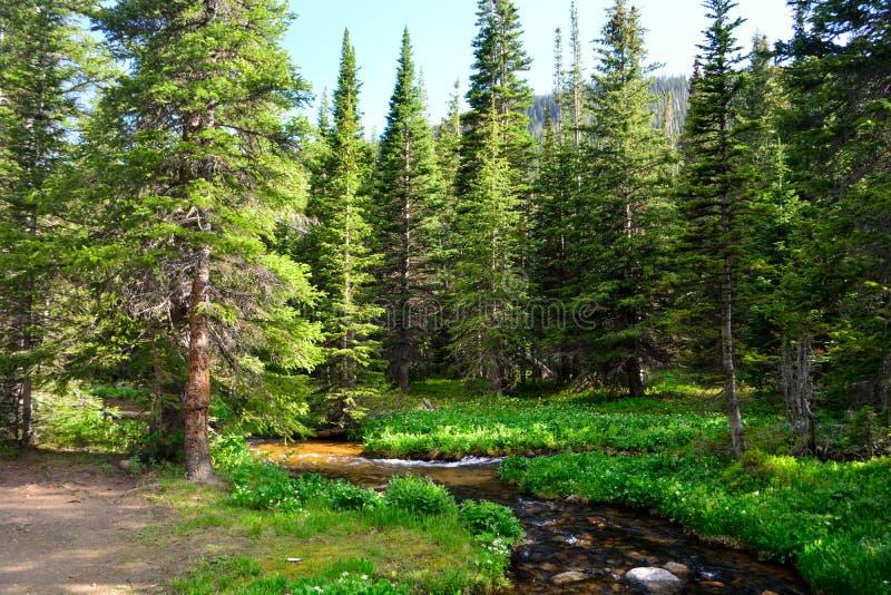Courant de montagne entouré par des pins dans une forêt image stock