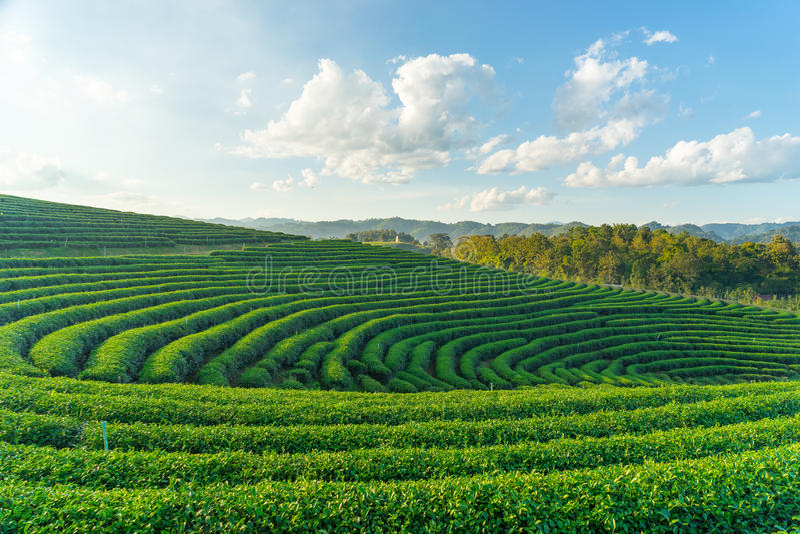 Courbe de ferme de thé vert images libres de droits