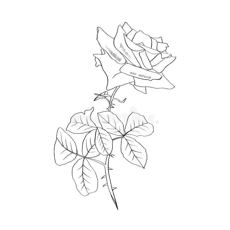 Courbe de niveau de Rose illustration Fleur barbelée avec des feuilles Dessin au crayon de Rose Croquis de fleur de jardin illustration de vecteur