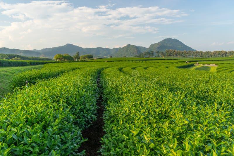 Courbe de thé vert avec le fond de montagne, Chiang Rai, Thaïlande image stock