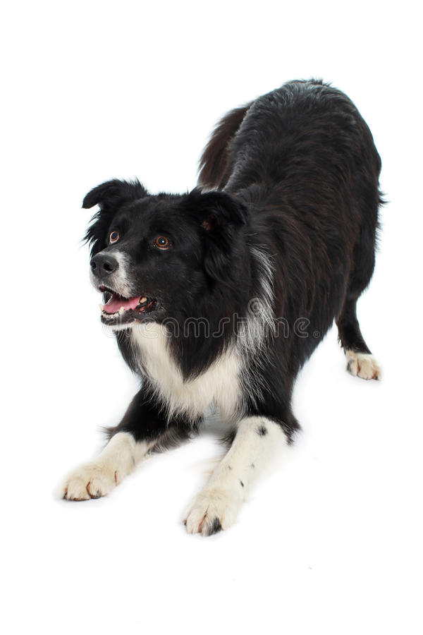 Courbure de chien de border collie vers le bas photo libre de droits