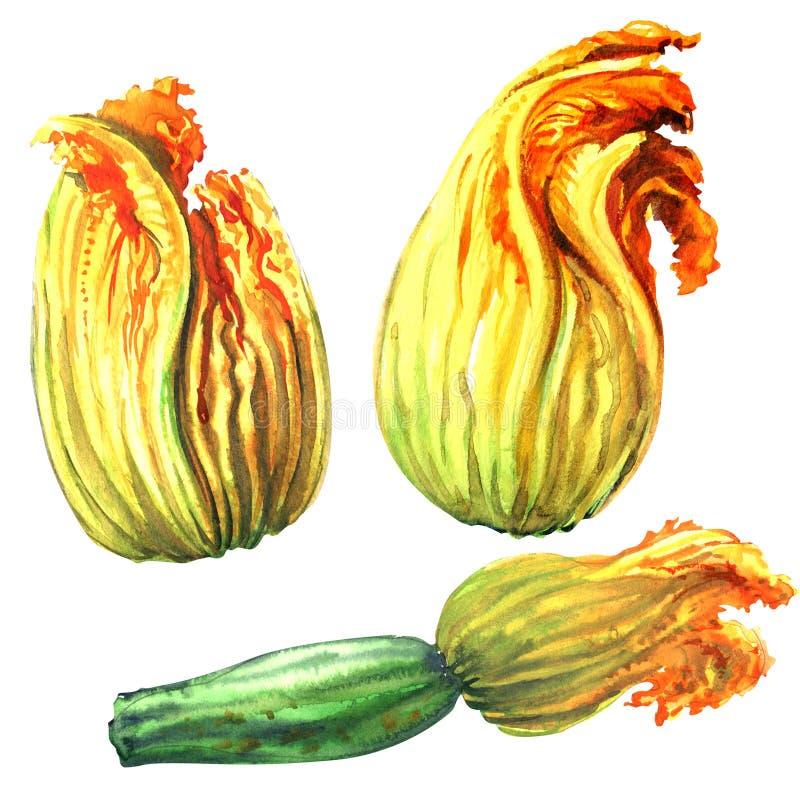 Courgette, fleur de courgette, fleurs jaunes de potiron, illustration d'isolement et tirée par la main d'aquarelle sur le blanc illustration libre de droits