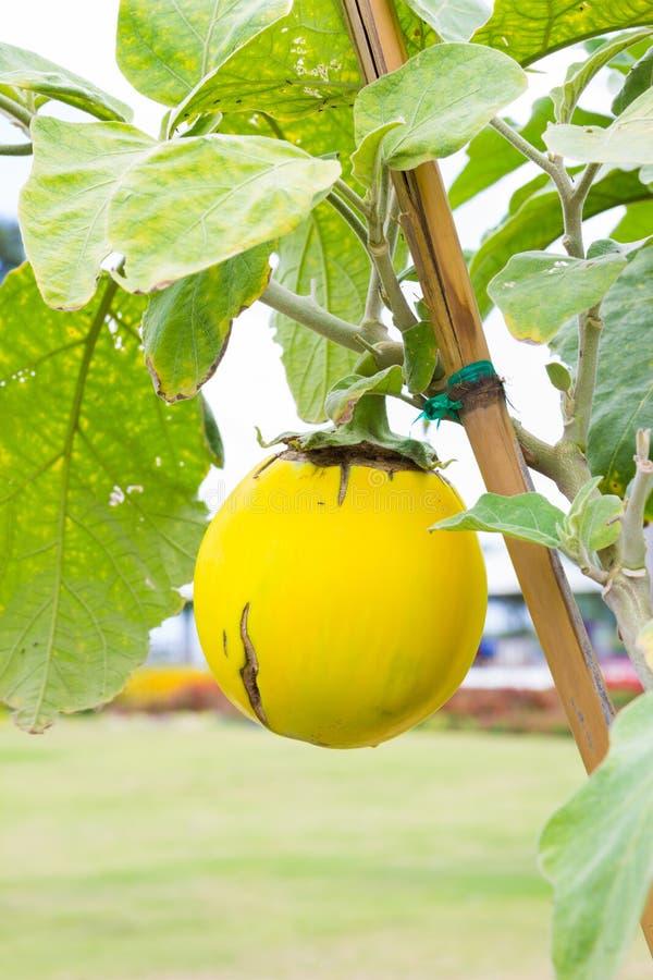 Courgette ronde jaune image stock. Image du régime, jaune ...