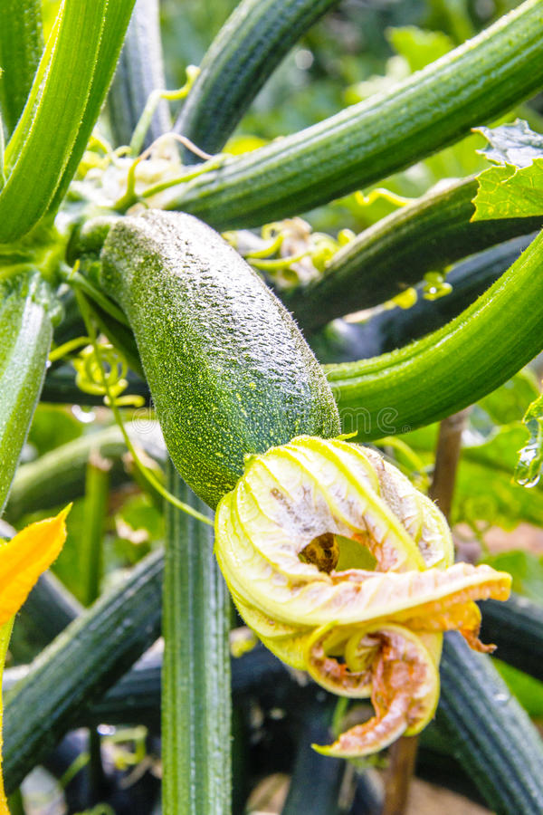 Courgette mûre photographie stock