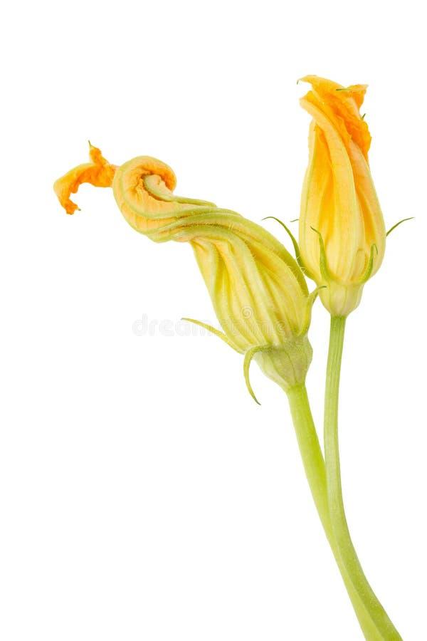 Courgettebloemen royalty-vrije stock afbeelding