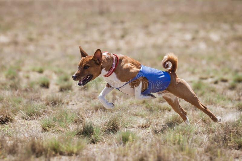courir Basenji poursuit des courses à travers le champ photographie stock libre de droits