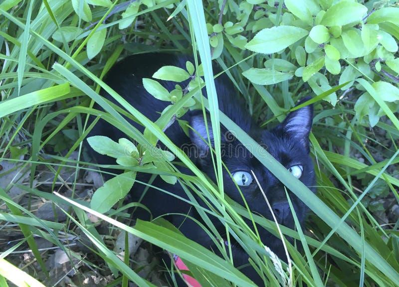 Couro cru entre o vidro - hierba do gato preto do escondido do negro do gato fotos de stock
