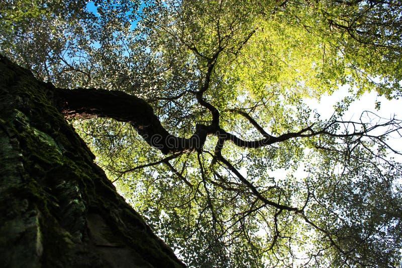 Couronne d'automne d'un grand chêne photographie stock
