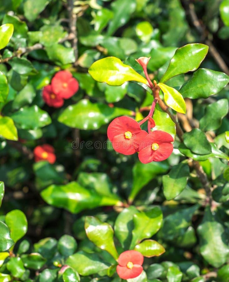 Couronne de fleur d'épines dans le jardin photographie stock libre de droits