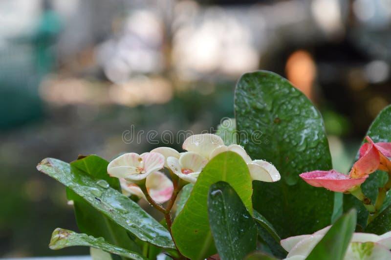Couronne de fleur sacrée de Chinois d'épines dans le jardin photos stock