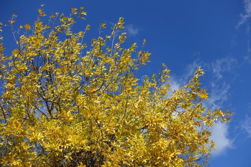 Couronne de frêne contre ciel bleu photos libres de droits