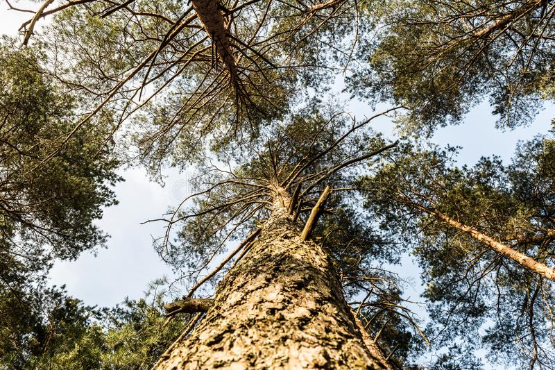 Couronne de pin contre le ciel bleu Ressort dans une vue de for?t de pin des dessus des pins photos libres de droits