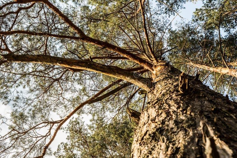 Couronne de pin contre le ciel bleu Ressort dans une vue de for?t de pin des dessus des pins photos stock