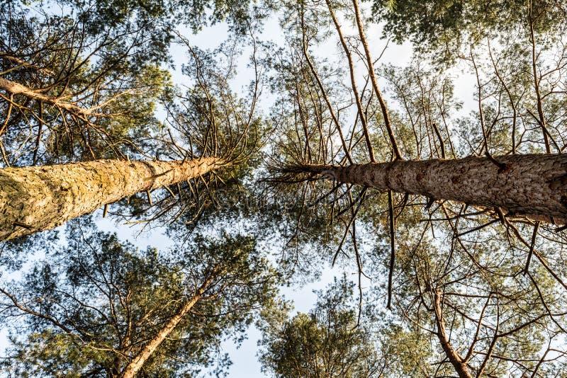 Couronne de pin contre le ciel bleu Ressort dans une vue de for?t de pin des dessus des pins image libre de droits