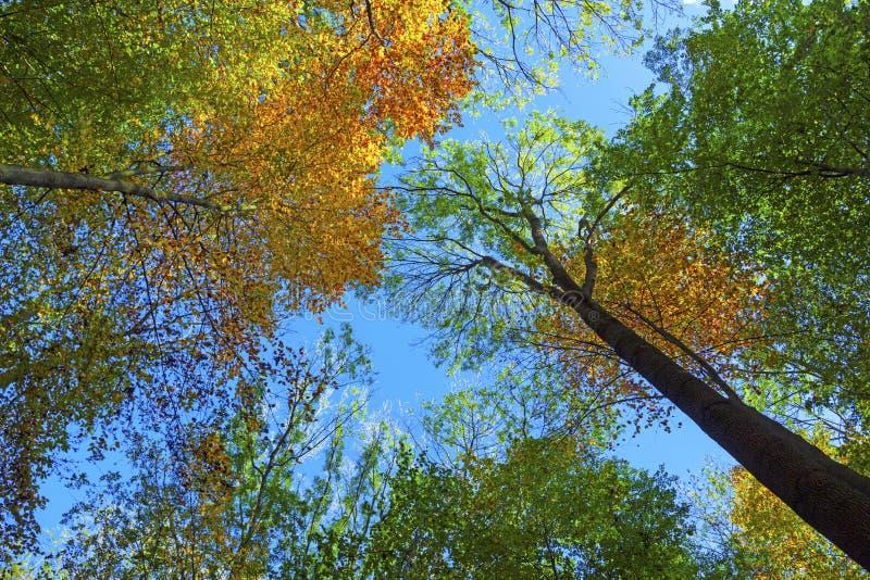 Couronne des chênes en automne images libres de droits