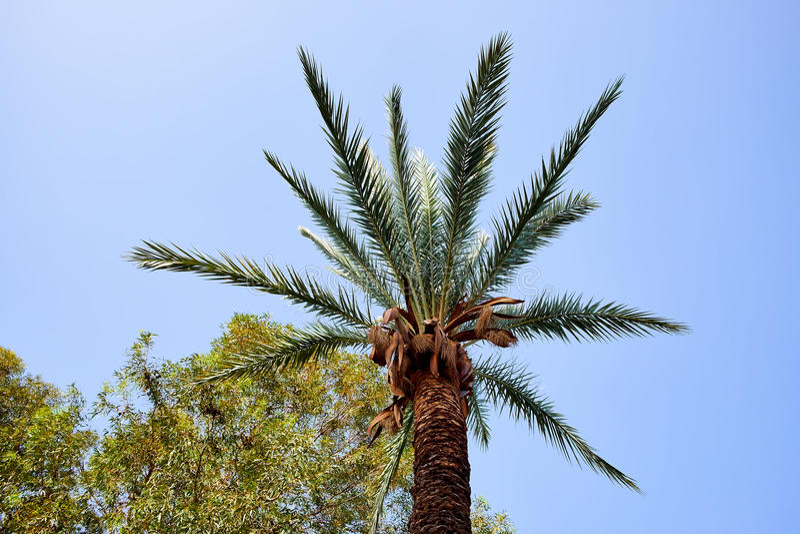 Couronne luxueuse du palmier contre le ciel bleu lumineux photos stock