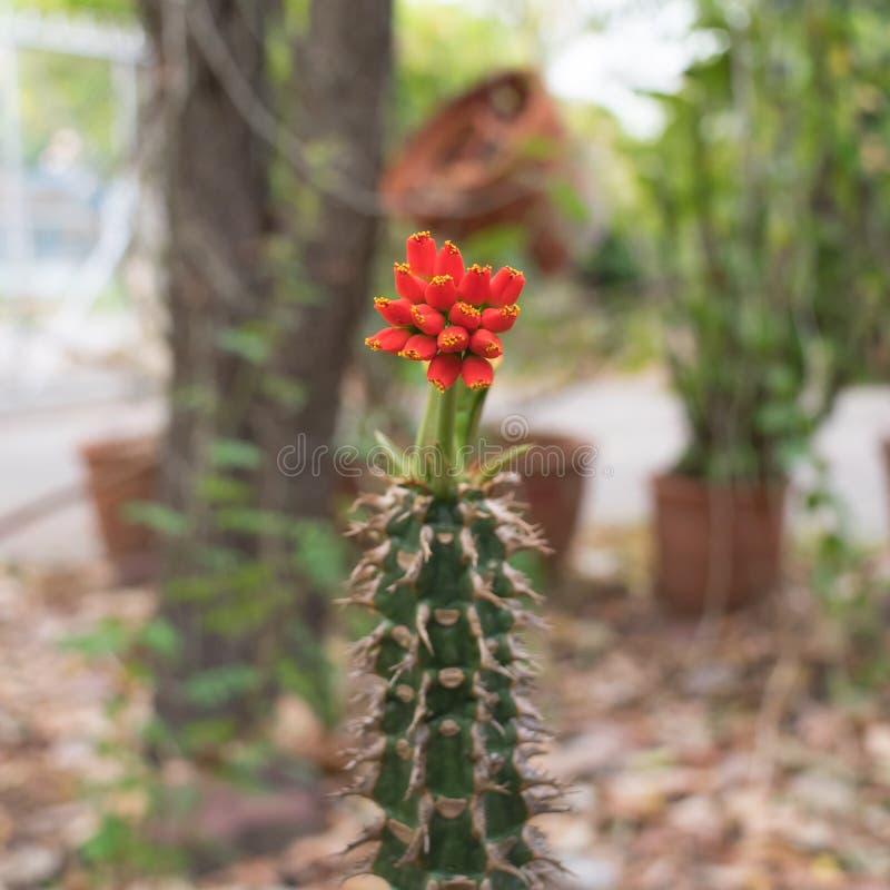 Couronne rouge des fleurs de throns photographie stock libre de droits