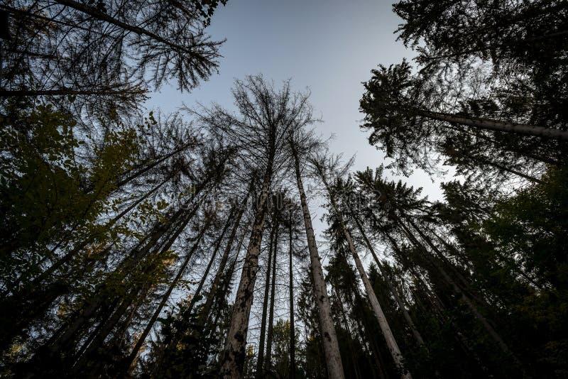 Couronnes foncées des arbres grands dans une forêt se levant contre un ciel bleu photos libres de droits