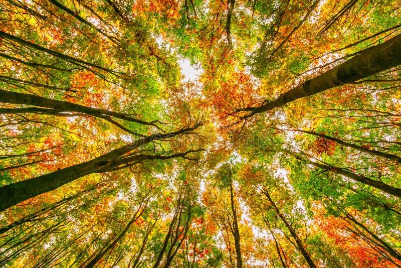 Couronnes lumineuses d'arbres de hêtre d'automne, chute dans la forêt foliaire photos libres de droits