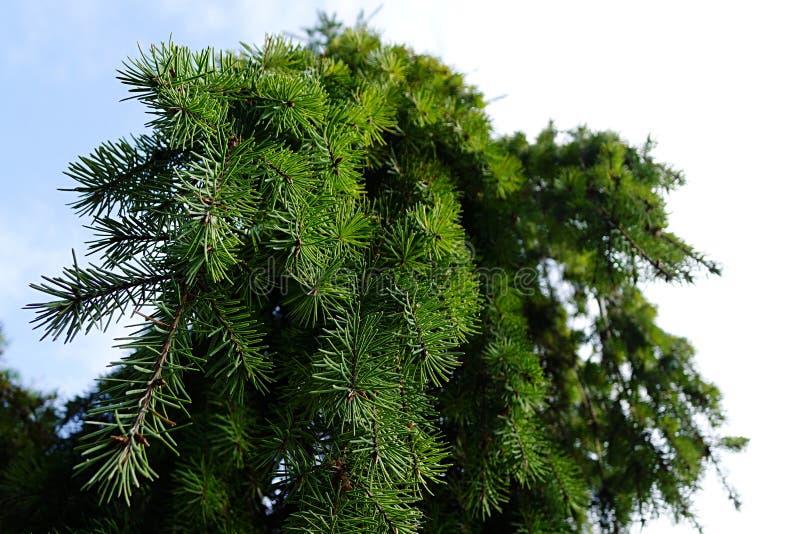 Couronnez l'arbre pleurant Glauca Pendula d'OD pris de vers le bas ci-dessous vers son dessus image stock