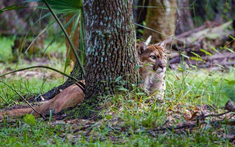 Couros crus da pantera de Florida atrás da árvore, descansando foto de stock royalty free