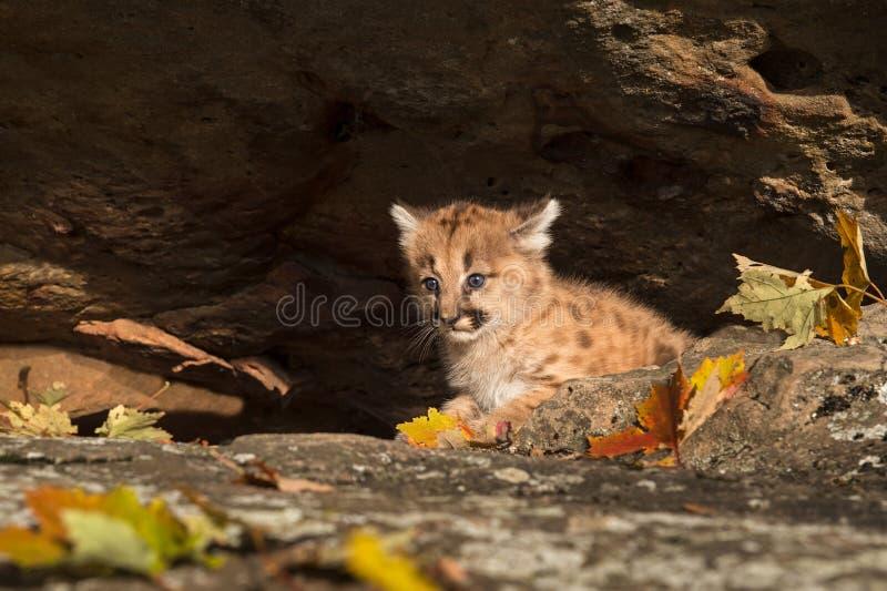 Couros crus fêmeas do gatinho do puma (concolor do puma) imagens de stock
