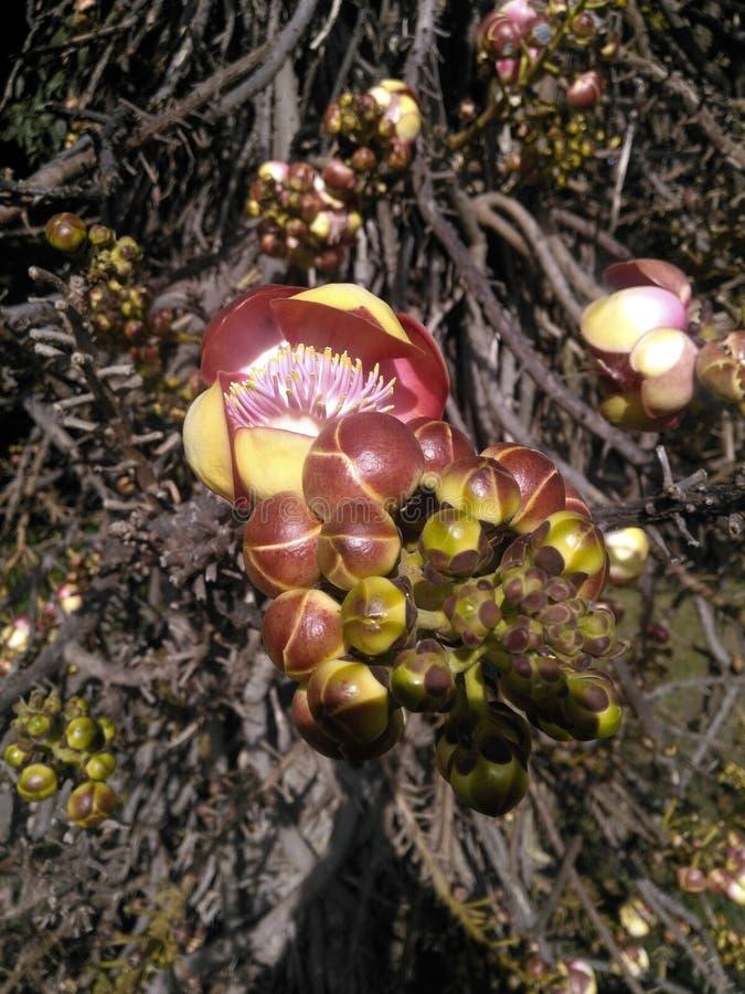 Couroupita guianensis花和开花特写镜头 库存照片