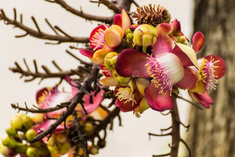 Couroupita Guianensis的花 免版税库存照片