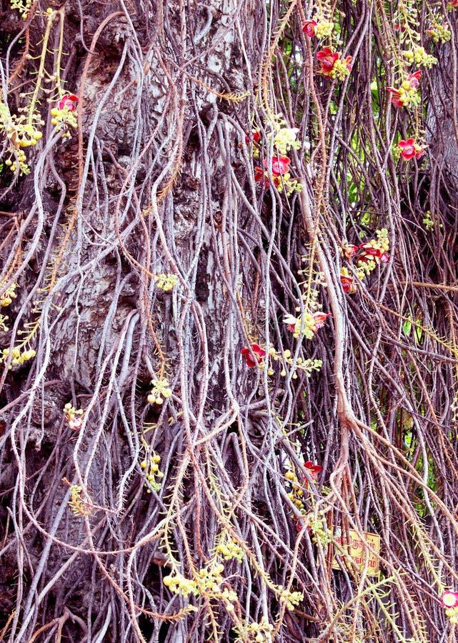 Couroupita guianensis 免版税图库摄影