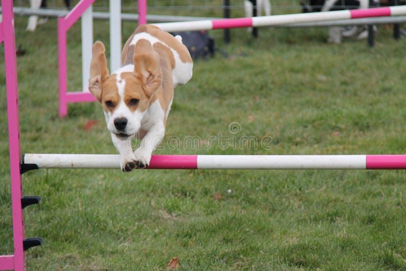 Cours d'agilité de chien image stock