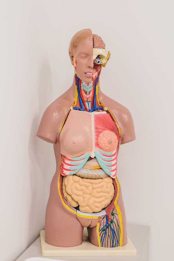 cours d'anatomie Mannequin de la structure interne de l'homme images stock