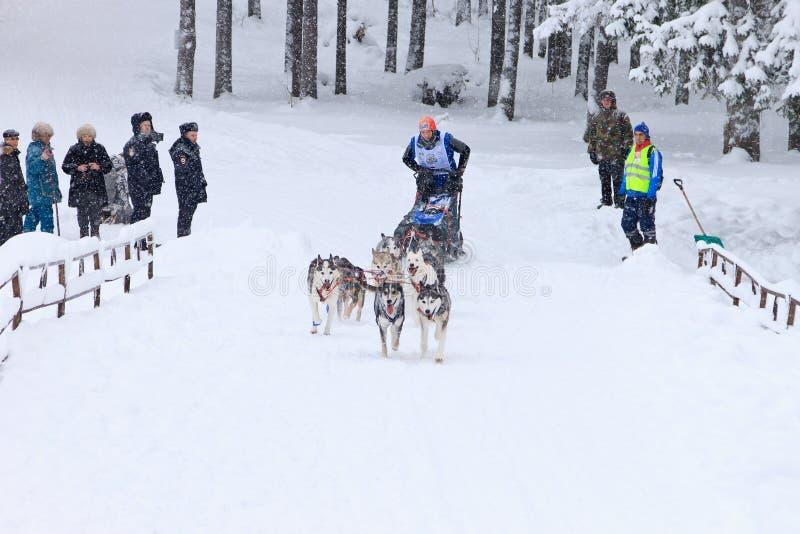 Course, conducteur et chiens de chien de traîneau pendant la concurrence skijoring photo stock