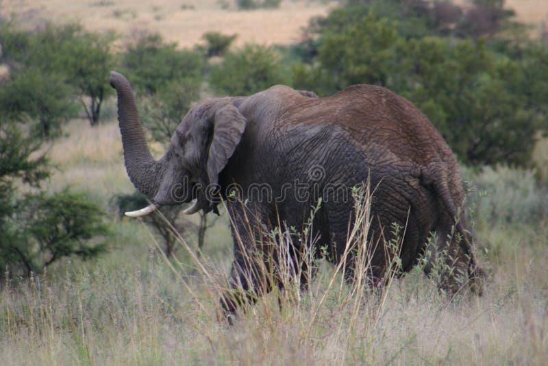 Course d'alarme d'éléphant photos libres de droits
