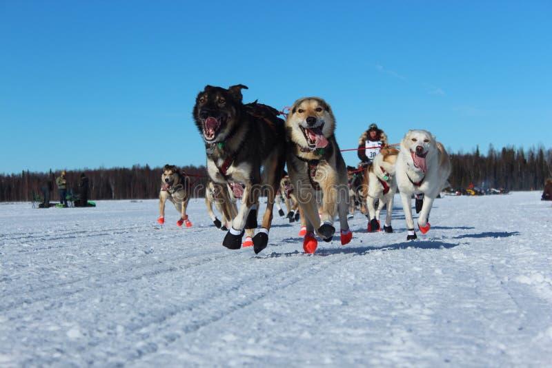 Course d'Iditarod en Alaska photo libre de droits