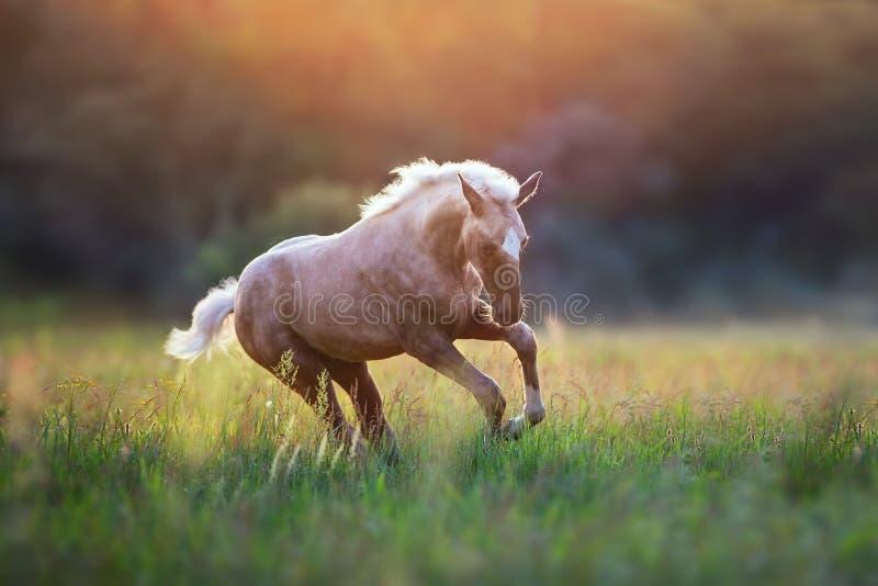 Course de cheval de palomino photographie stock