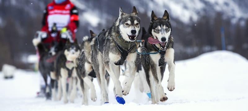 Course de chien images libres de droits