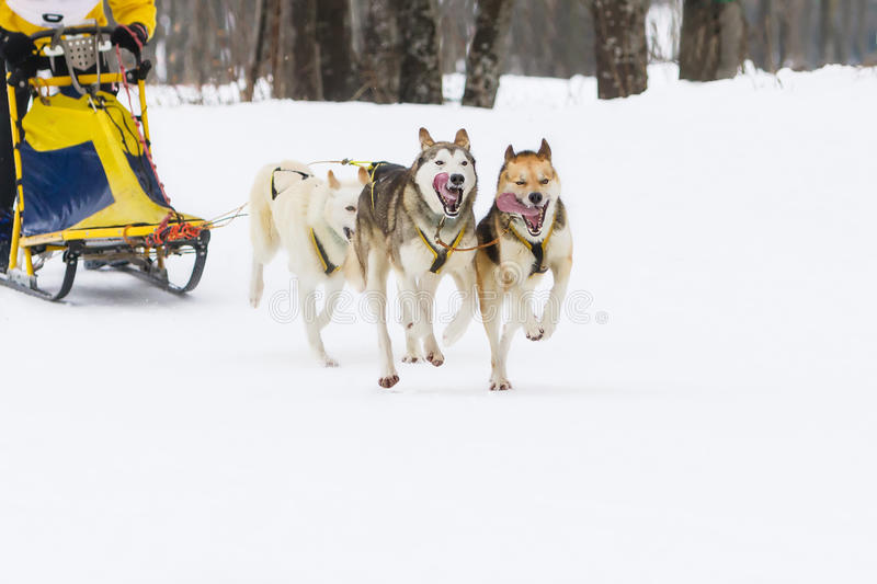 Course de chien de traîneau sur la neige en hiver images libres de droits